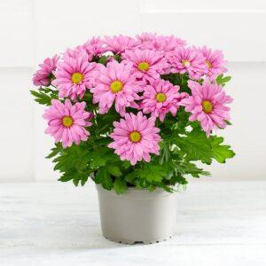 Chrysanthemum plant santorini flower