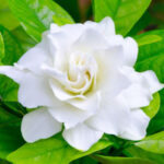 meaning of gardenia flower