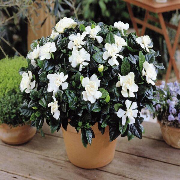gardenia santorini wedding flowers
