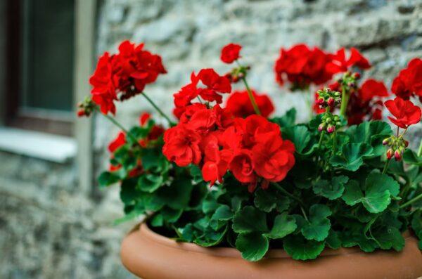 gerania santorini wedding flowers