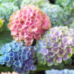 Hydrangea wedding flower meaning