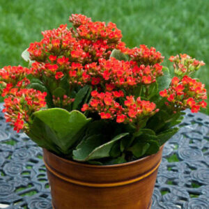 kalanchoe santorini wedding flowers