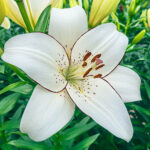 meaning of Lily wedding flower