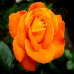 meaning of orange rose