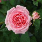 meaning of pink rose