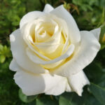 white rose flower meaning
